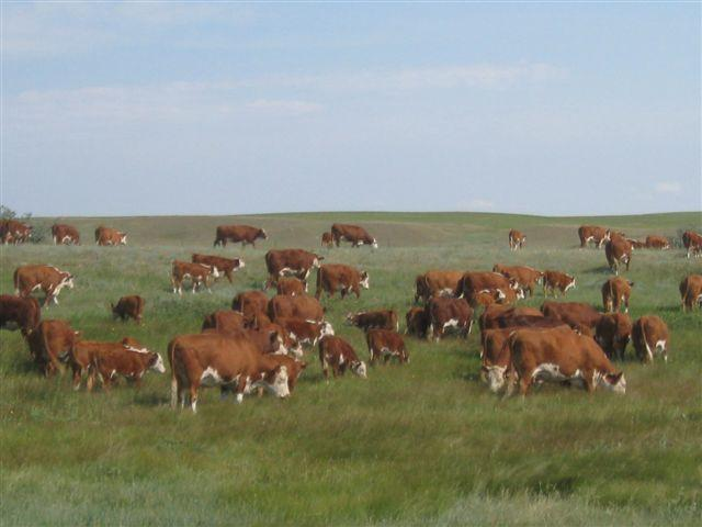 Cow Hereford Cattle